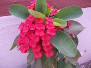 Euphorbia milii - Bright Red