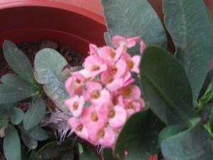 Euphorbia milii - Medium Pink Flowers