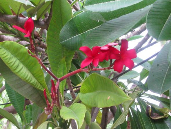 Red Frangipani Flower