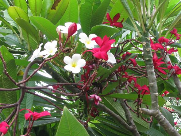 White & Red Frangipani Flower
