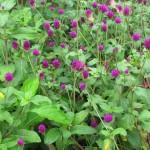 Globe Amaranth (Gomphrena Flowers)