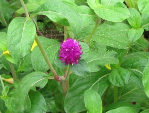 Gomphrena Flowers