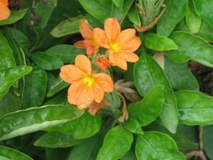 Orange Crossandra Flowers
