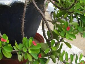 Euphorbia milii dwarf plant - Red