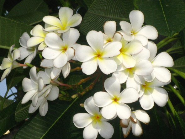 Frangipani or Plumeria – Craft Works, School Projects ...