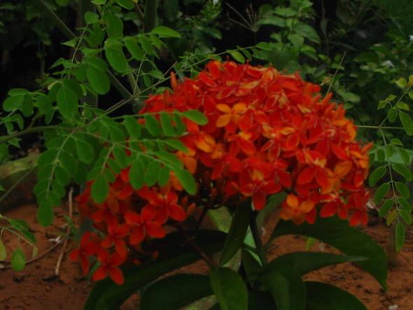 Orange Ixora coccinea