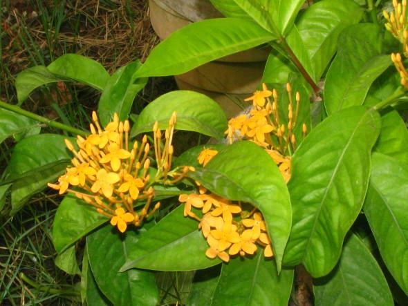 Yellow Ixora coccinea