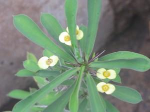 Euphorbia milii - Dwarf Yellow Flowers