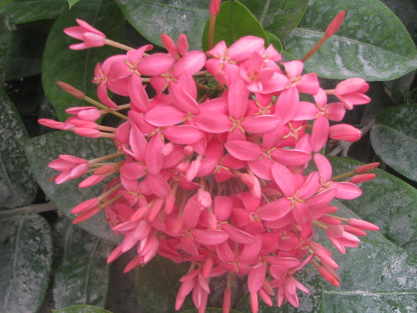 Pink Ixora coccinea