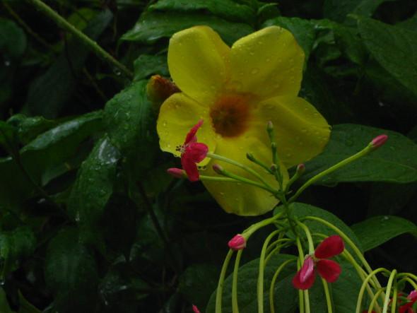 Rangoon Creeper and Yellow Alamanda