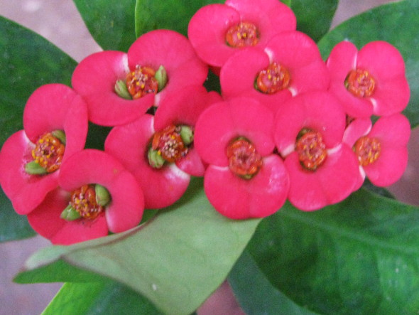 Close up of Euphorbia milii flowers