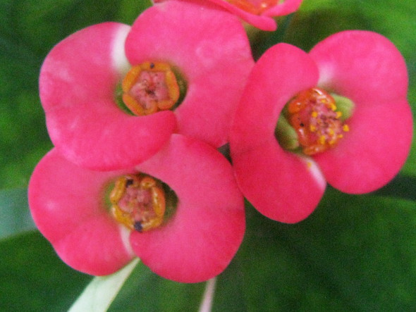 Crown of thorns euphorbia milii craft works school projects close up of euphorbia milii flower mightylinksfo