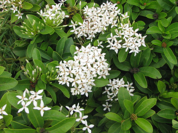 Ixora White Dwarf Craft Works School Projects Amp Nature