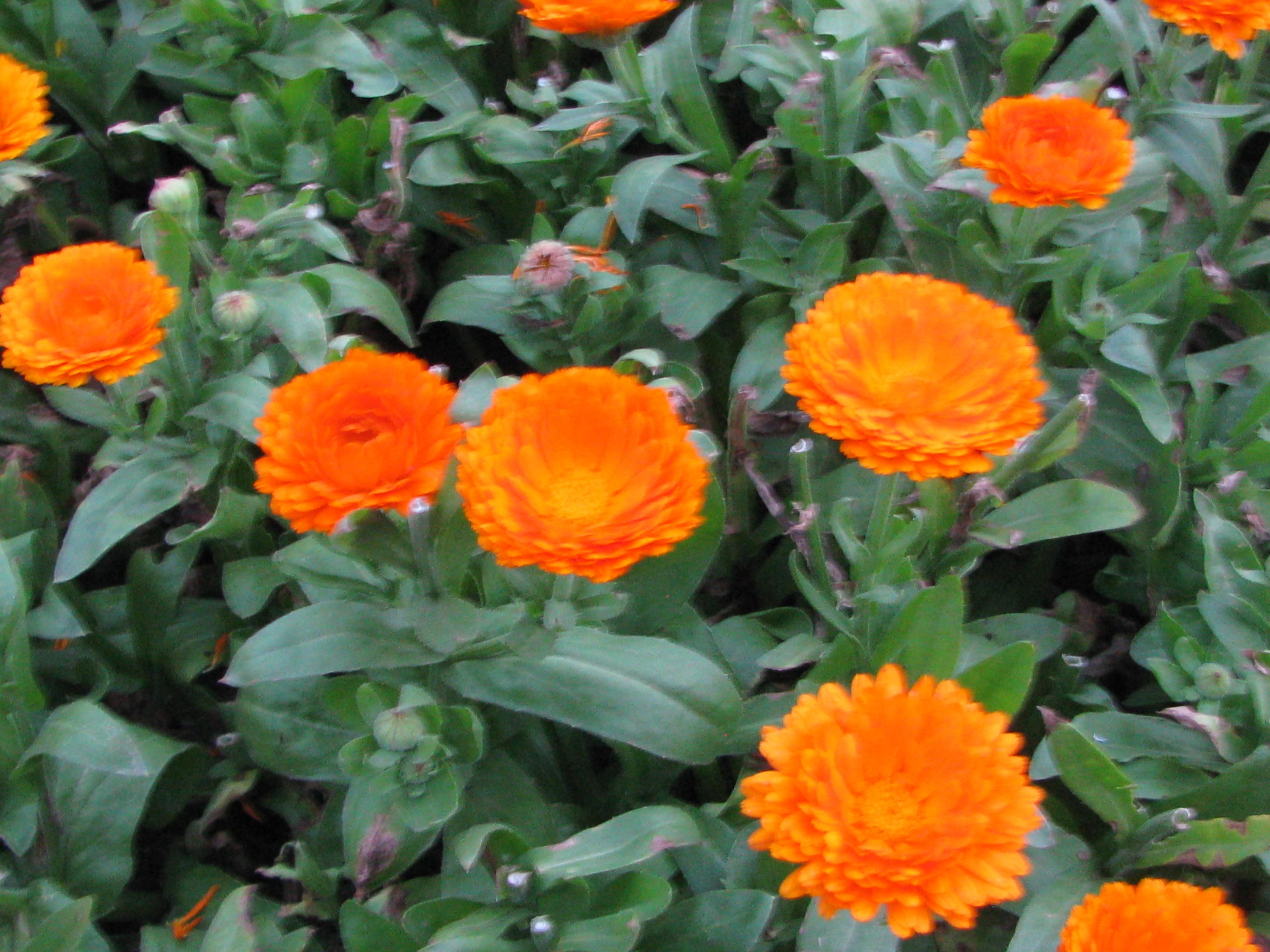 Orange Calendula Melindajanice Com