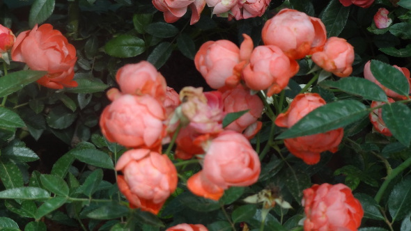 Roses of Half Bloom on the Display
