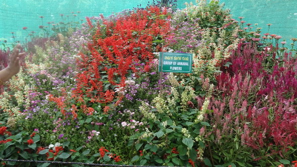 Rows of Salvia and other flowers