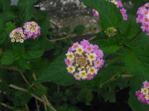Lantana – The Roadside Flower