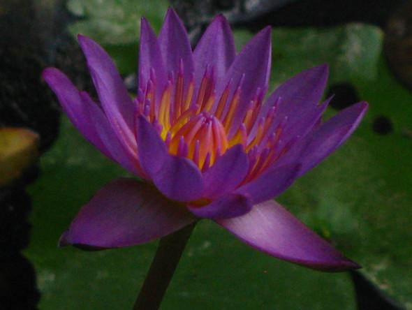 Blue Lotus of India