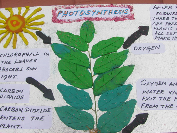 photosythesis school projects Photosynthesis plants make their own food – absorbing and converting sunlight energy into chemical energy stored in carbohydrates such as glucose and other biomolecules.