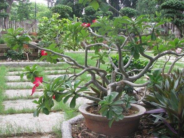 Adenium Bonsai with Red Flowers from Semmozhi Poonga