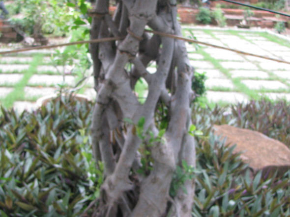 Ficus with Spiral Stem