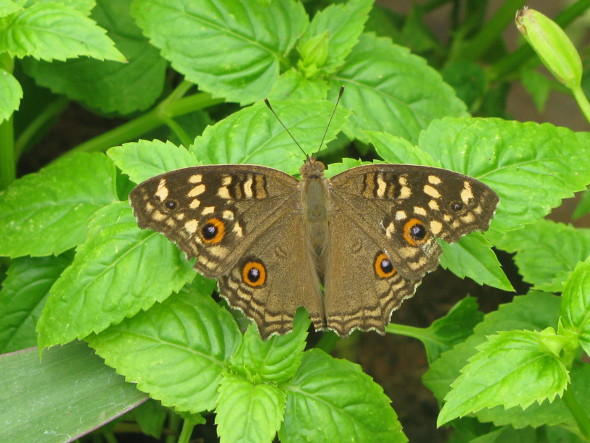 Butterfly on a Torenia Plant