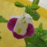 Torenias - My Mystery Flowers