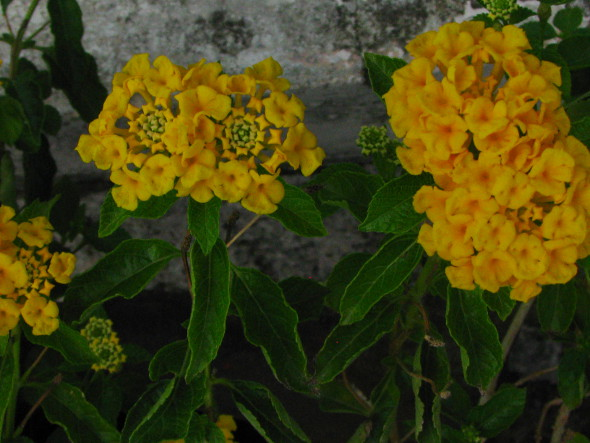 Twin Flower Clusters