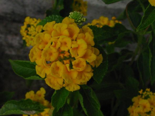 Yellow or Gold Lantana