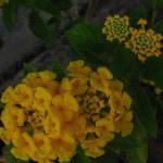 Lantana - The Roadside Flower