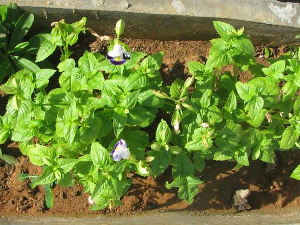 Torenia Plant with Flowers