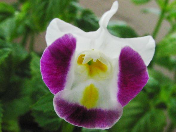 Torenia Flower - Pink