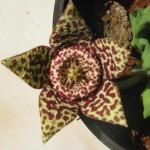 Starfish Flower - Orbea variegata (Stapelia variegata)