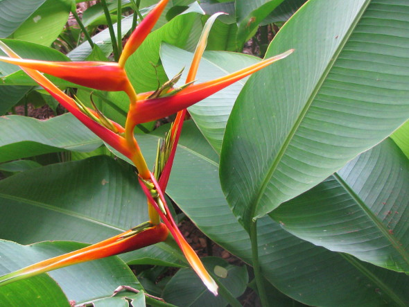 Heliconia Red Torch