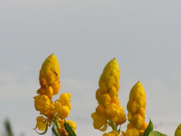 Senna alata - Candle Bush Flowers