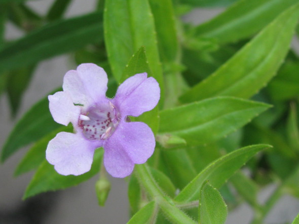 Angelonia - Purple Flower